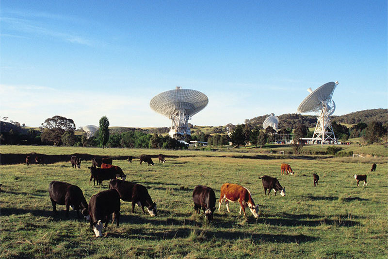 CDSCC Antennas in the background, cows in the foreground