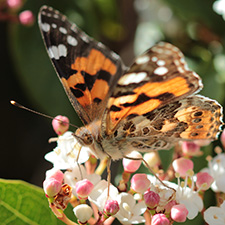 Orange, black and white butterfly sitting on white and pink flowers