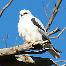 White bird with grey wings and red eyes sitting on a branch