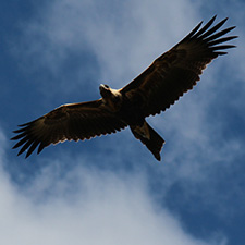 Eagle flying with a blue sky with clouds behind