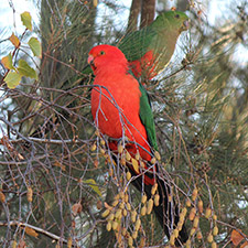 A red and green parrot sitting in front of a mostly green parrot in a tree